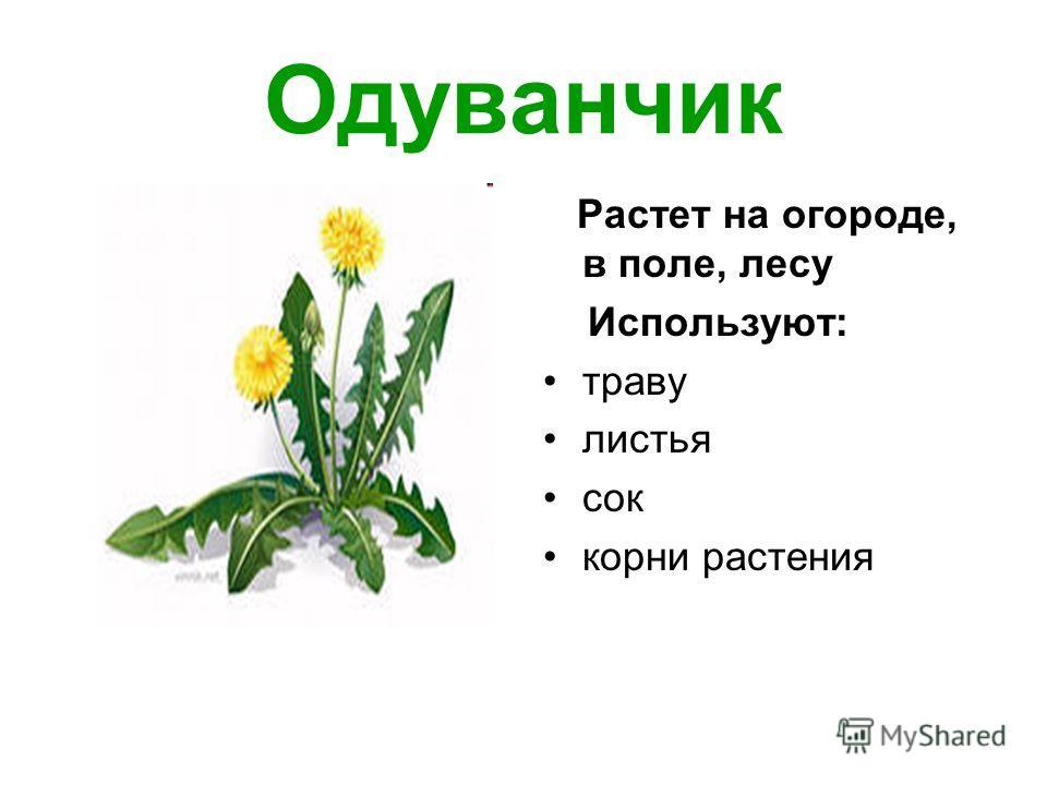 Одуванчик Растет на огороде, в поле, лесу Используют: траву листья сок корни растения