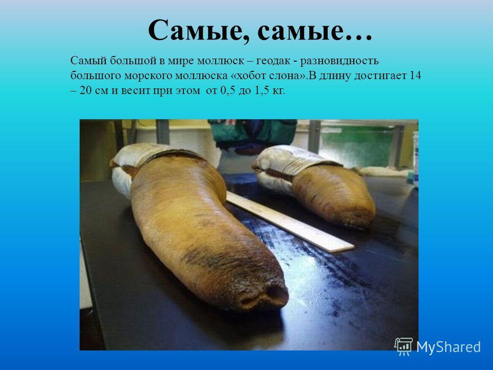 Самый большой в мире моллюск – геодак - разновидность большого морского моллюска «хобот слона».В длину достигает 14 – 20 см и весит при этом от 0,5 до 1,5 кг. Самые, самые…