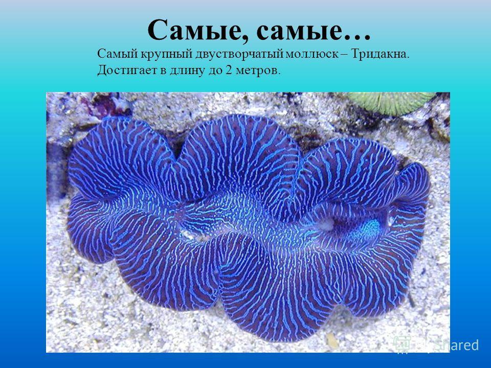 Самый крупный двустворчатый моллюск – Тридакна. Достигает в длину до 2 метров.
