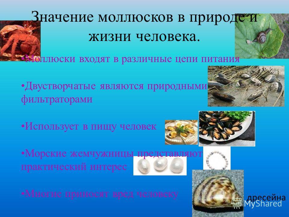 Моллюски входят в различные цепи питания Двустворчатые являются природными фильтраторами Использует в пищу человек Морские жемчужницы представляют практический интерес Многие приносят вред человеку Значение моллюсков в природе и жизни человека. дресе