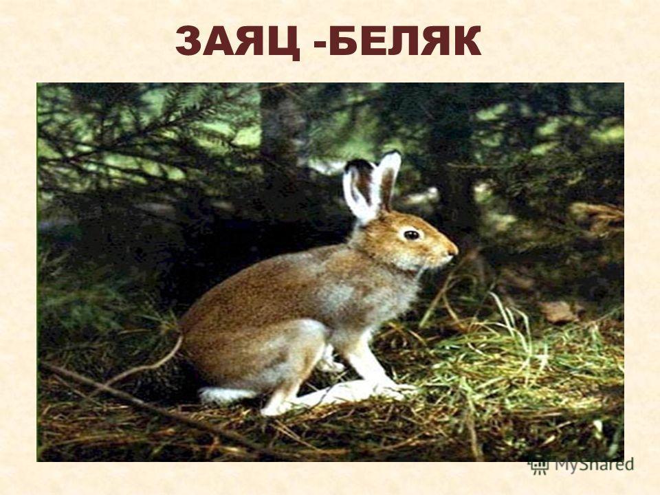 ЗАЯЦ -БЕЛЯК