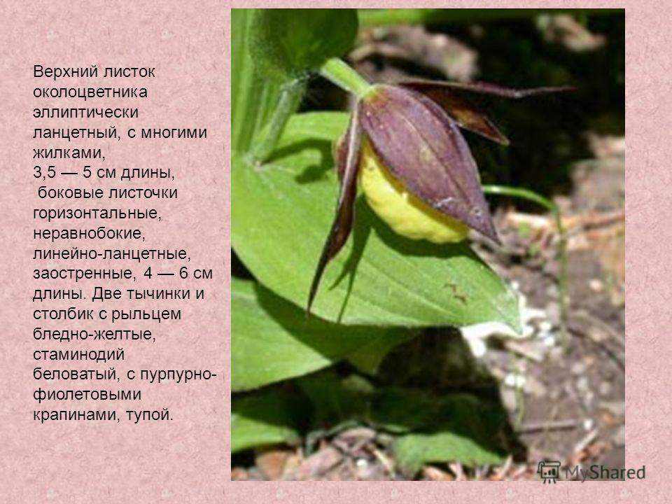 Верхний листок околоцветника эллиптически ланцетный, с многими жилками, 3,5 5 см длины, боковые листочки горизонтальные, неравнобокие, линейно-ланцетные, заостренные, 4 6 см длины. Две тычинки и столбик с рыльцем бледно-желтые, стаминодий беловатый,
