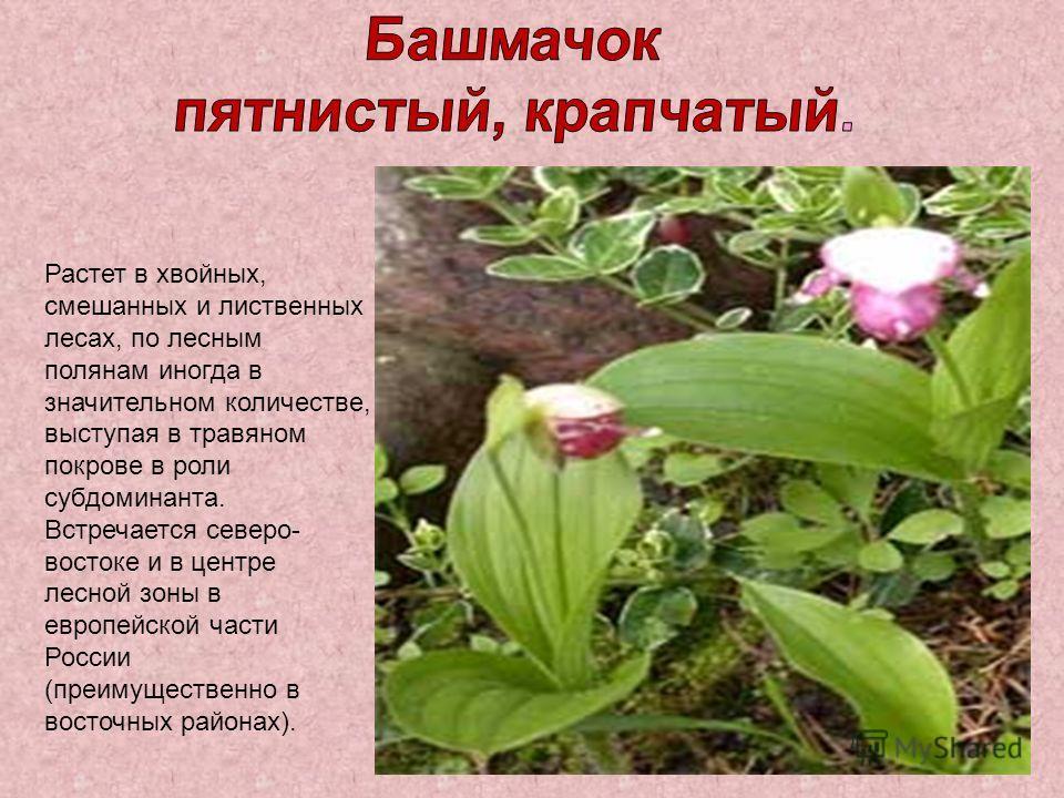 Растет в хвойных, смешанных и лиственных лесах, по лесным полянам иногда в значительном количестве, выступая в травяном покрове в роли субдоминанта. Встречается северо- востоке и в центре лесной зоны в европейской части России (преимущественно в вост