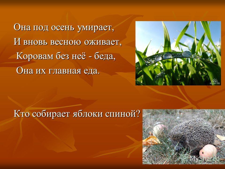 Она под осень умирает, И вновь весною оживает, Коровам без неё - беда, Коровам без неё - беда, Она их главная еда. Она их главная еда. Кто собирает яблоки спиной?