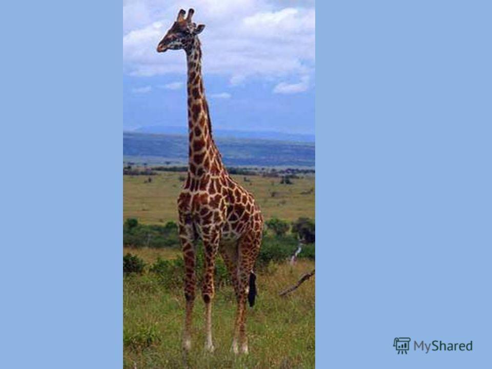 Правда ли, что у жирафа самая длинная шея?