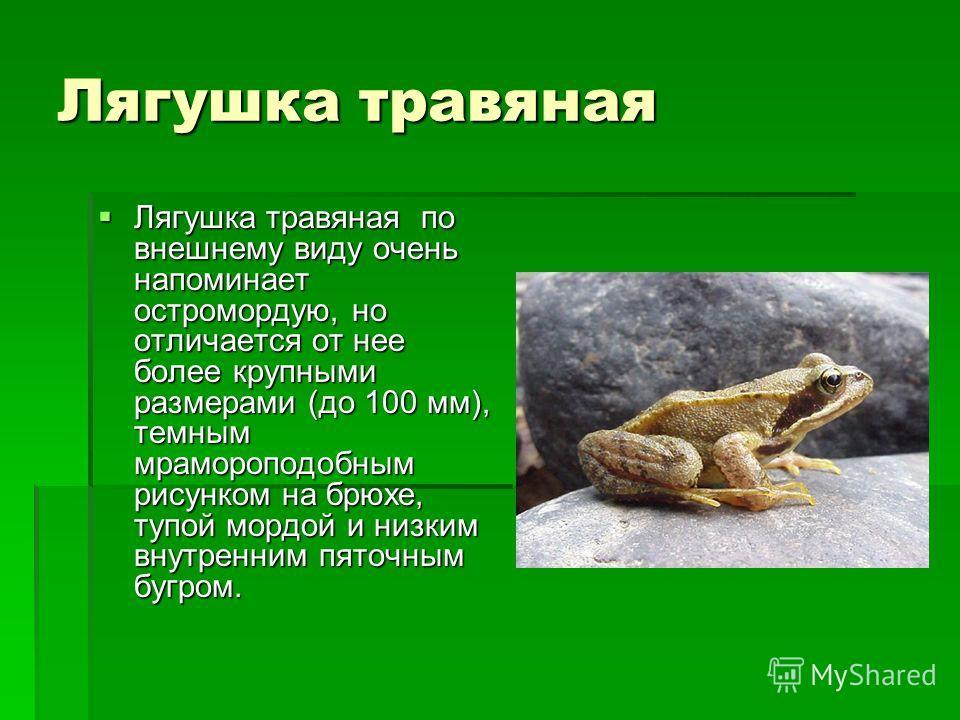 Лягушка травяная Лягушка травяная по внешнему виду очень напоминает остромордую, но отличается от нее более крупными размерами (до 100 мм), темным мрамороподобным рисунком на брюхе, тупой мордой и низким внутренним пяточным бугром. Лягушка травяная п