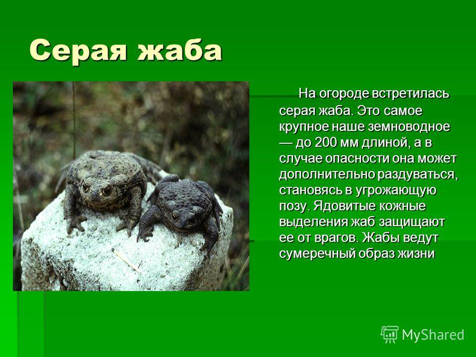 Серая жаба На огороде встретилась серая жаба. Это самое крупное наше земноводное до 200 мм длиной, а в случае опасности она может дополнительно раздуваться, становясь в угрожающую позу. Ядовитые кожные выделения жаб защищают ее от врагов. Жабы ведут