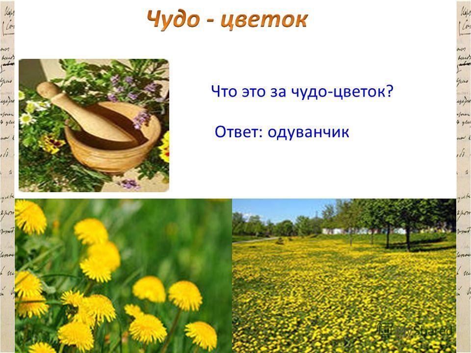 Что это за чудо-цветок? Ответ: одуванчик