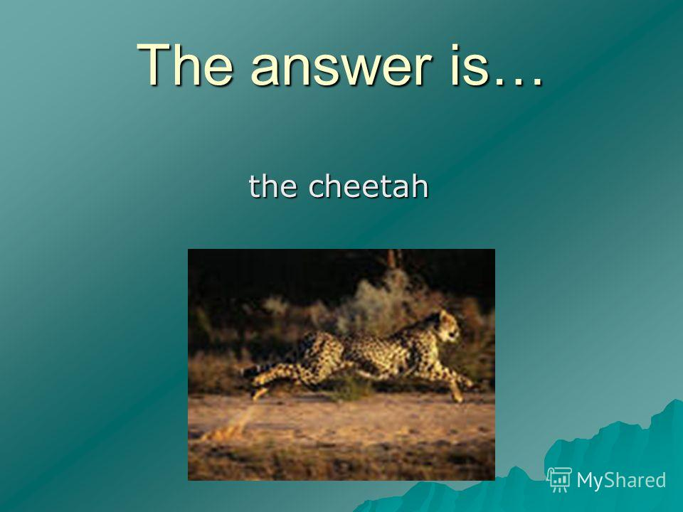 The answer is… the cheetah