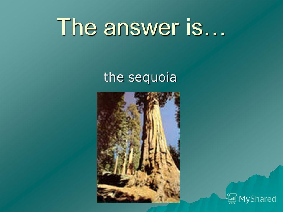 The answer is… the sequoia