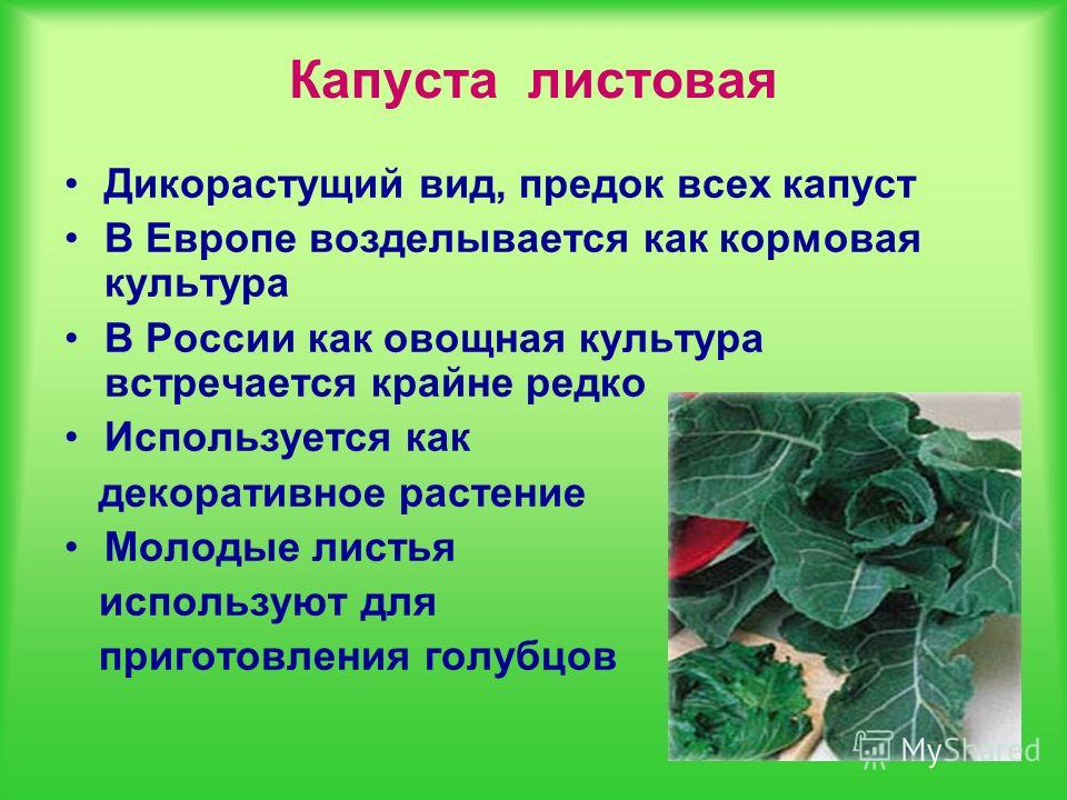Капуста листовая Дикорастущий вид, предок всех капуст В Европе возделывается как кормовая культура В России как овощная культура встречается крайне редко Используется как декоративное растение Молодые листья используют для приготовления голубцов