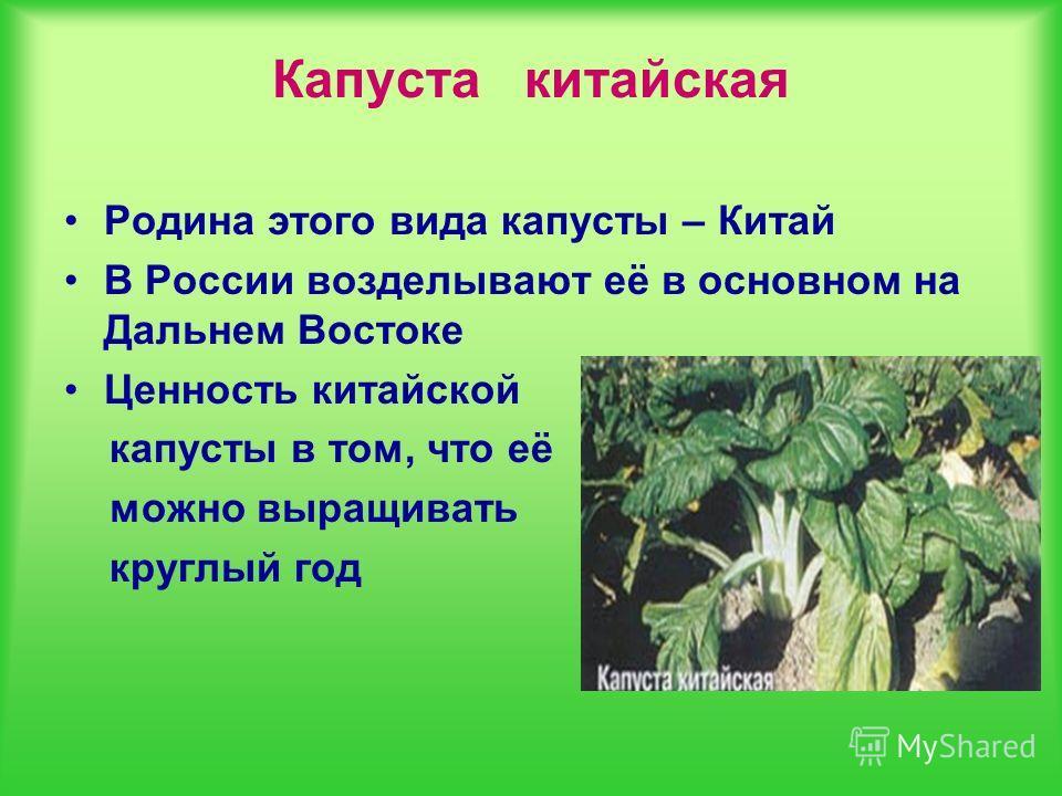 Капуста китайская Родина этого вида капусты – Китай В России возделывают её в основном на Дальнем Востоке Ценность китайской капусты в том, что её можно выращивать круглый год