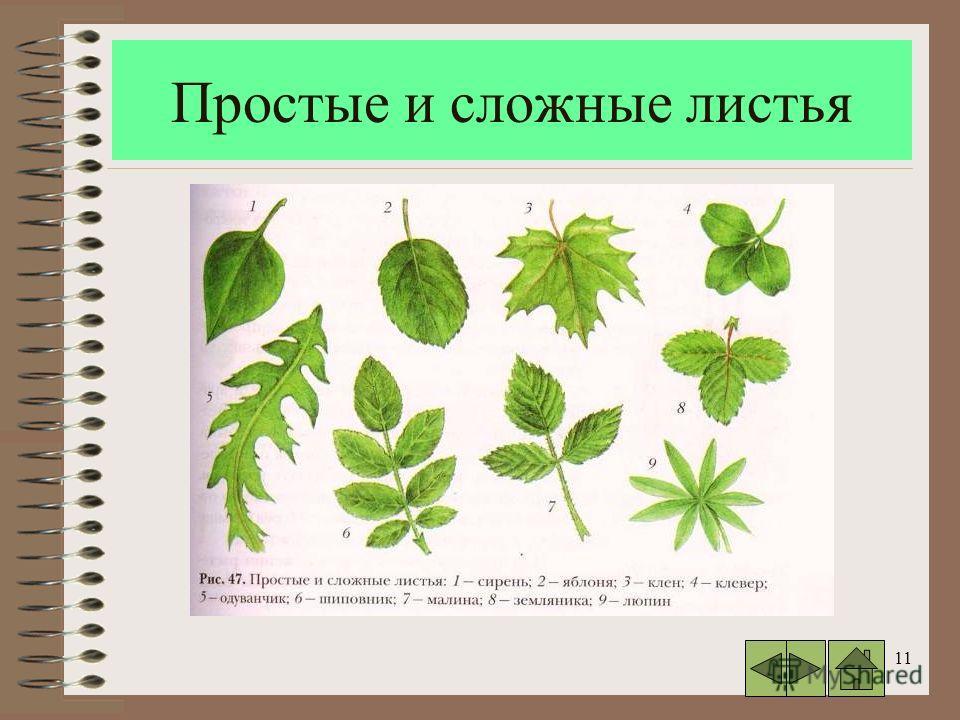 11 Простые и сложные листья