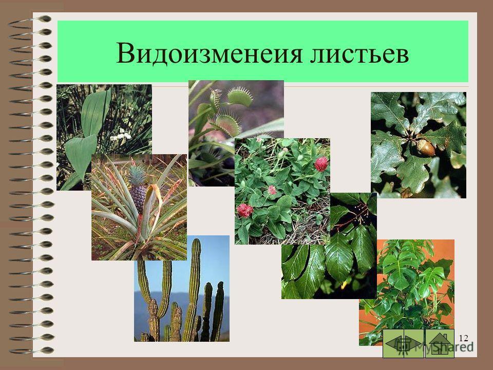 12 Видоизменеия листьев