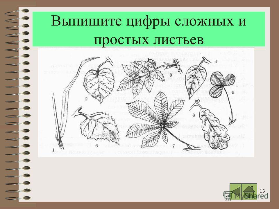 13 Выпишите цифры сложных и простых листьев