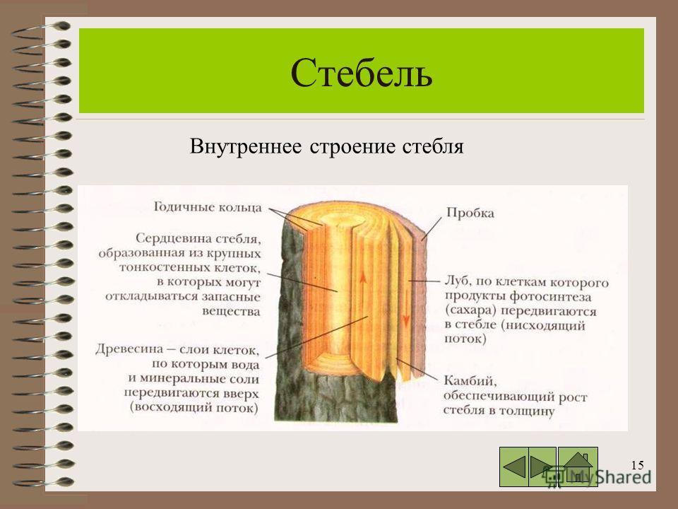15 Стебель Внутреннее строение стебля
