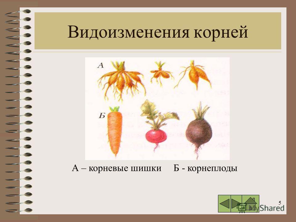 5 Видоизменения корней А – корневые шишки Б - корнеплоды