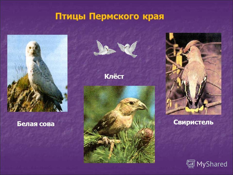 Белая сова Клёст Свиристель Птицы Пермского края