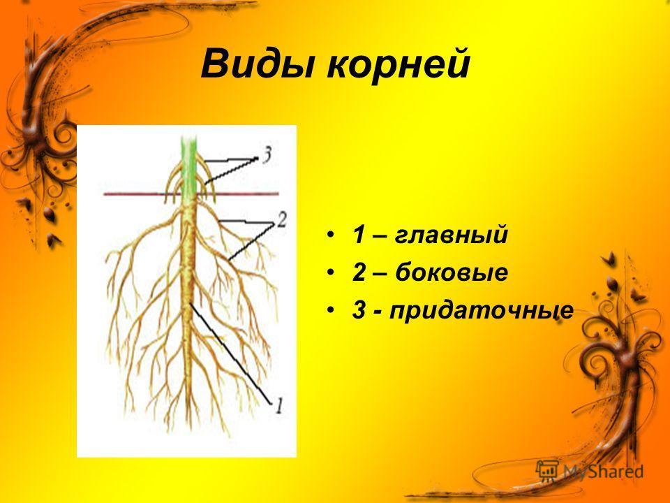 Виды корней 1 – главный 2 – боковые 3 - придаточные