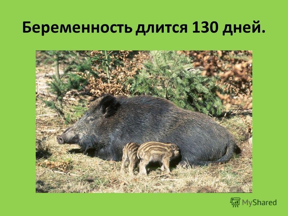 Беременность длится 130 дней.