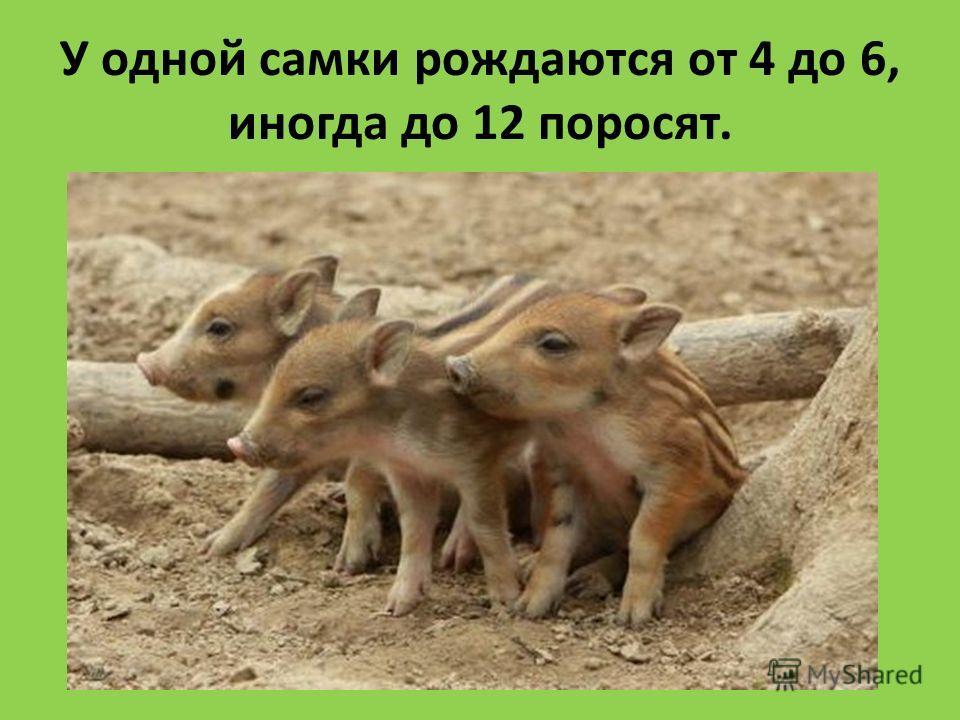 У одной самки рождаются от 4 до 6, иногда до 12 поросят.