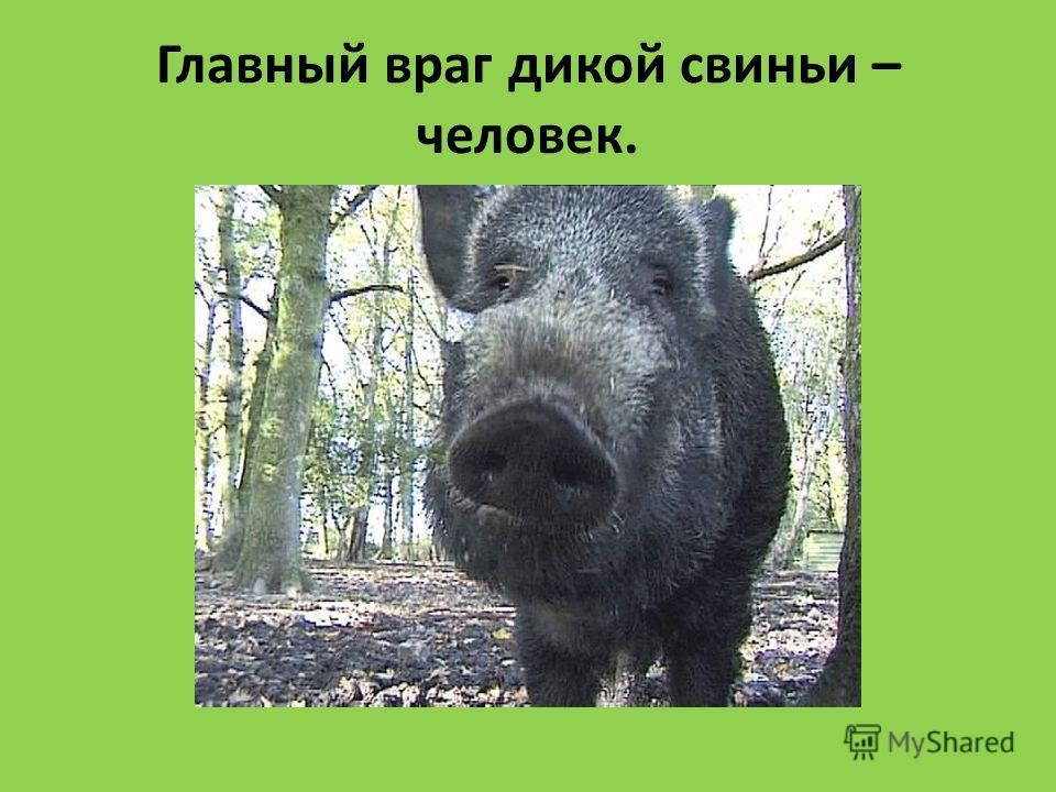 Главный враг дикой свиньи – человек.