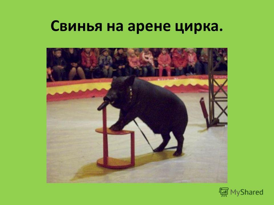Свинья на арене цирка.