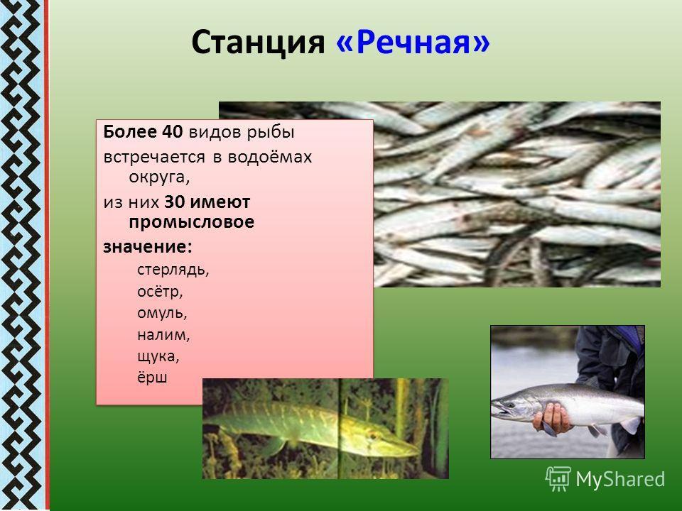 Станция «Речная» Более 40 видов рыбы встречается в водоёмах округа, из них 30 имеют промысловое значение: стерлядь, осётр, омуль, налим, щука, ёрш Более 40 видов рыбы встречается в водоёмах округа, из них 30 имеют промысловое значение: стерлядь, осёт