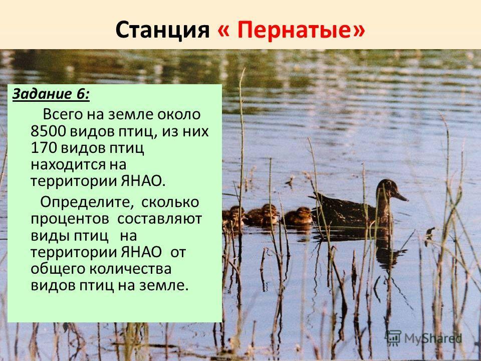 Станция « Пернатые» Задание 6: Всего на земле около 8500 видов птиц, из них 170 видов птиц находится на территории ЯНАО. Определите, сколько процентов составляют виды птиц на территории ЯНАО от общего количества видов птиц на земле.