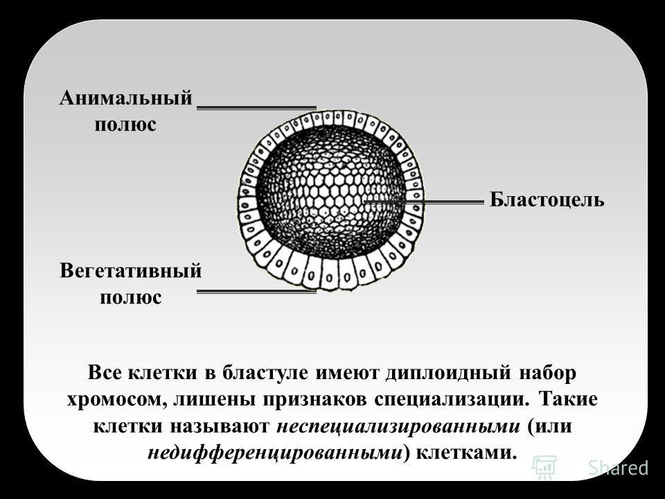 Все клетки в бластуле имеют диплоидный набор хромосом, лишены признаков специализации. Такие клетки называют неспециализированными (или недифференцированными) клетками. Бластоцель Анимальный полюс Вегетативный полюс
