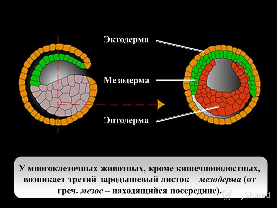У многоклеточных животных, кроме кишечнополостных, возникает третий зародышевый листок – мезодерма (от греч. мезос – находящийся посередине) У многоклеточных животных, кроме кишечнополостных, возникает третий зародышевый листок – мезодерма (от греч.