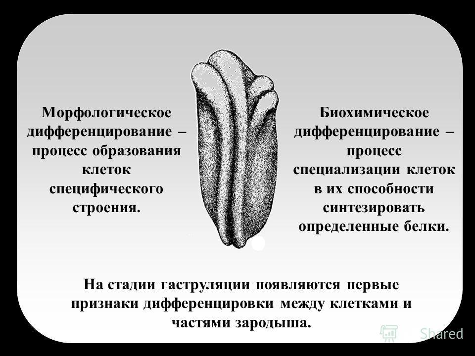 На стадии гаструляции появляются первые признаки дифференцировки между клетками и частями зародыша. Морфологическое дифференцирование – процесс образования клеток специфического строения. Биохимическое дифференцирование – процесс специализации клеток