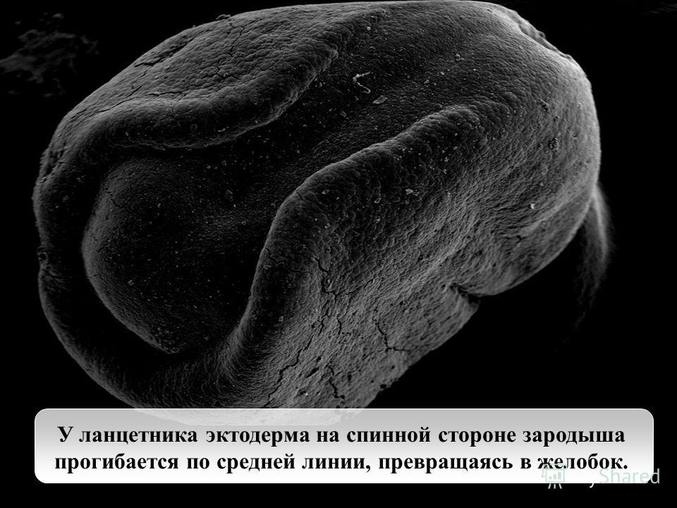 У ланцетника эктодерма на спинной стороне зародыша прогибается по средней линии, превращаясь в желобок.