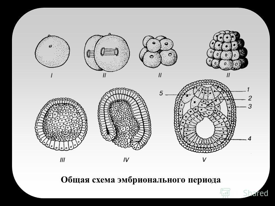 Общая схема эмбрионального периода