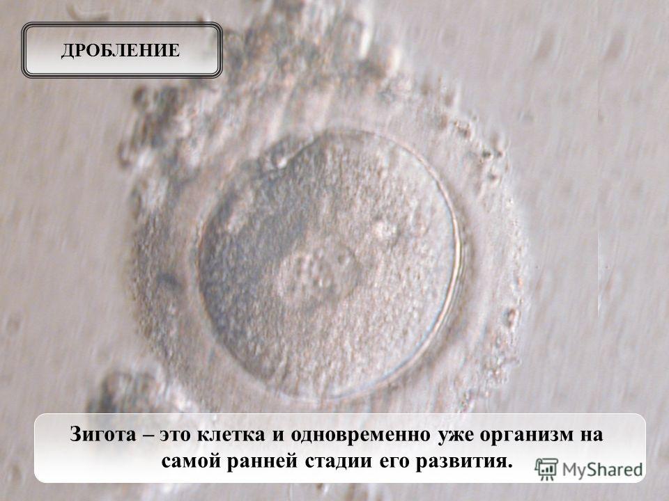 Зигота – это клетка и одновременно уже организм на самой ранней стадии его развития. ДРОБЛЕНИЕ