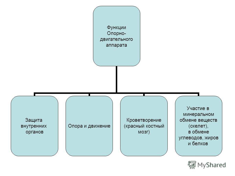 Функции Опорно- двигательного аппарата Защита внутренних органов Опора и движение Кроветворение (красный костный мозг) Участие в минеральном обмене веществ (скелет), в обмене углеводов, жиров и белков