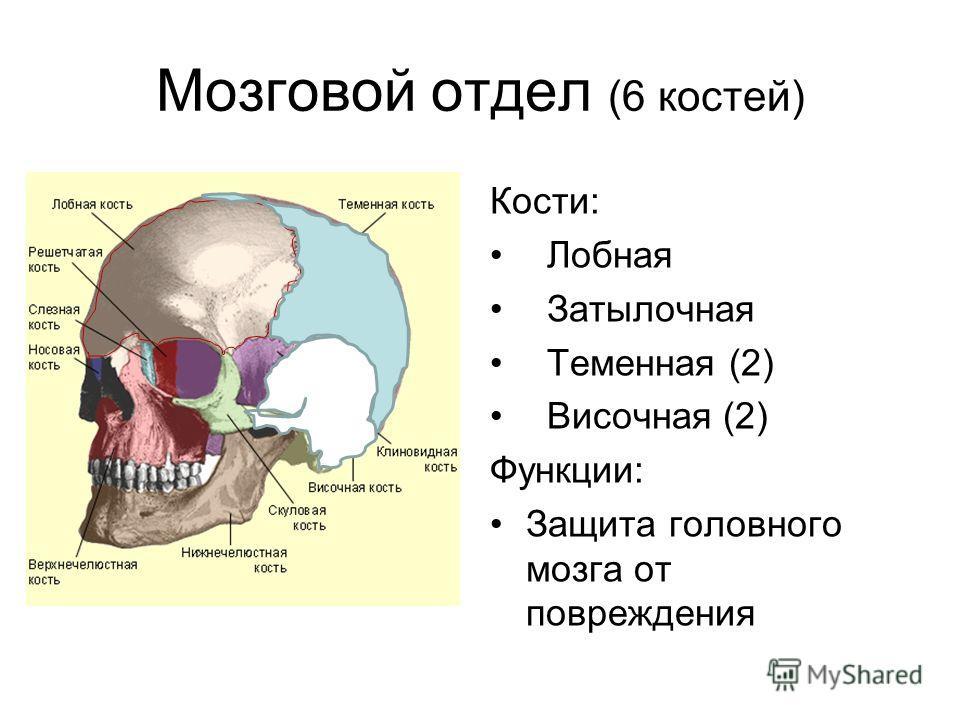 Мозговой отдел (6 костей) Кости: Лобная Затылочная Теменная (2) Височная (2) Функции: Защита головного мозга от повреждения