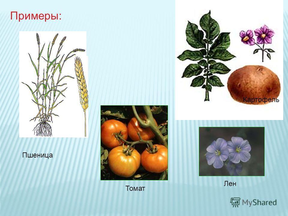 Пшеница Картофель Томат Лен Примеры: