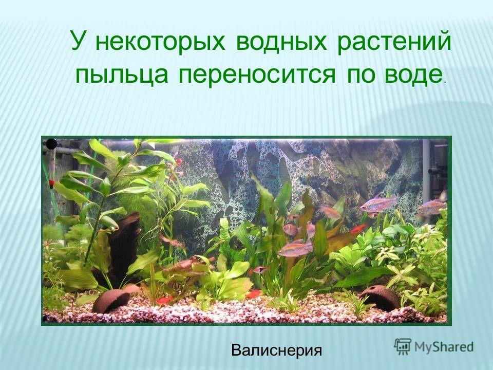 У некоторых водных растений пыльца переносится по воде. Валиснерия