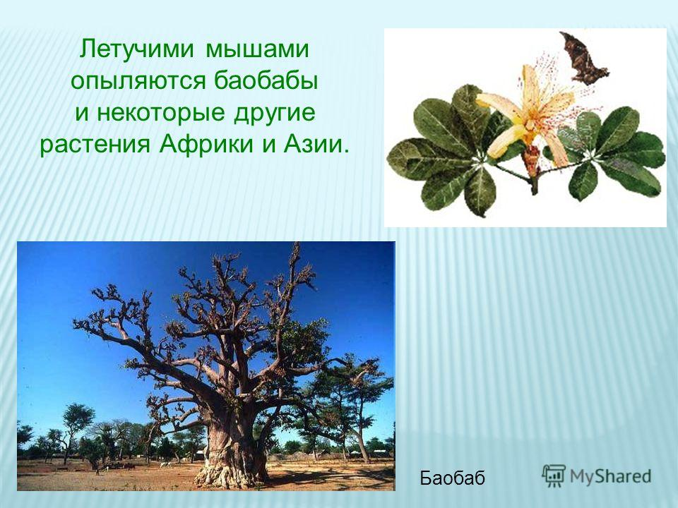 Летучими мышами опыляются баобабы и некоторые другие растения Африки и Азии. Баобаб