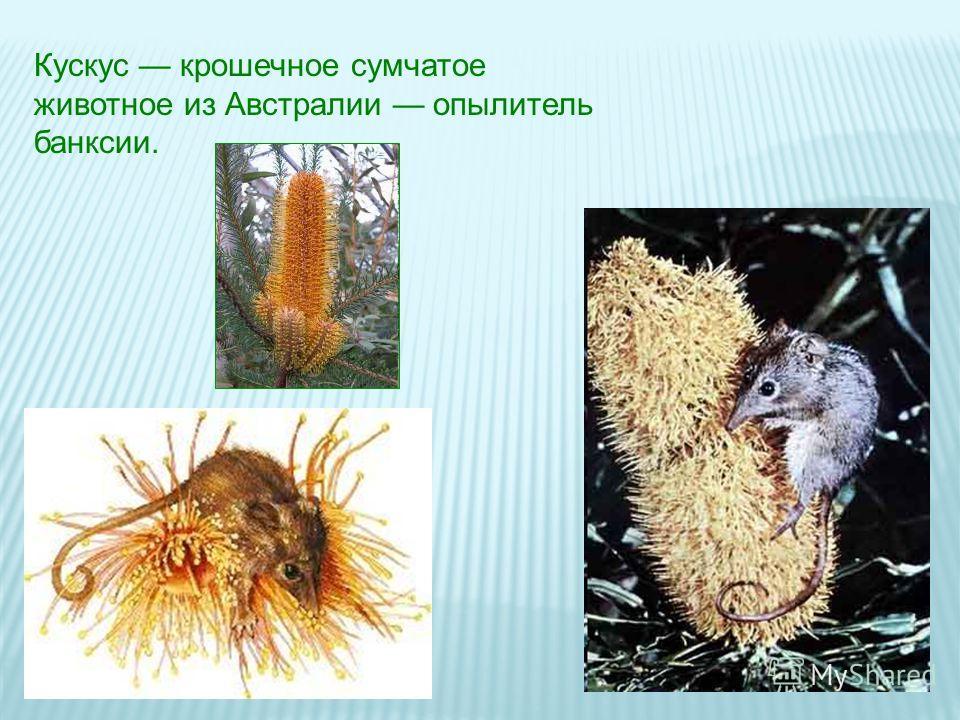Кускус крошечное сумчатое животное из Австралии опылитель банксии.