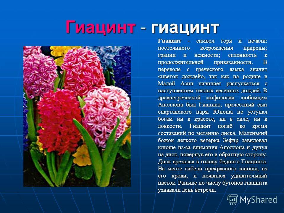 Гиацинт - гиацинт Гиацинт - символ горя и печали: постоянного возрождения природы; грации и нежности; склонность к продолжительной привязанности. В переводе с греческого языка значит «цветок дождей», так как на родине в Малой Азии начинает распускать