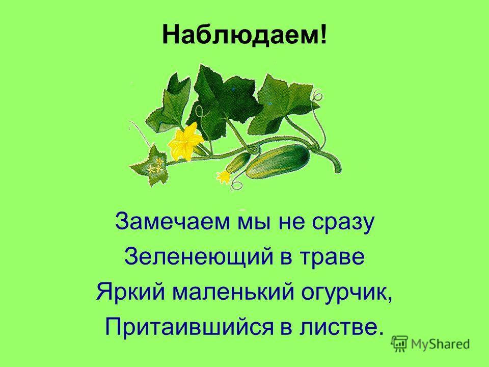 Наблюдаем! Замечаем мы не сразу Зеленеющий в траве Яркий маленький огурчик, Притаившийся в листве.