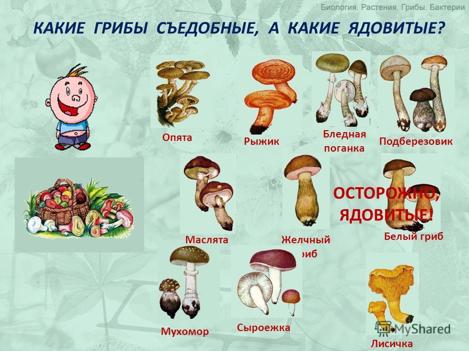 КАКИЕ ГРИБЫ СЪЕДОБНЫЕ, А КАКИЕ ЯДОВИТЫЕ? Опята Желчный гриб Рыжик Бледная поганка Белый гриб Мухомор Сыроежка ОСТОРОЖНО, ЯДОВИТЫЕ! Лисичка ПодберезовикМаслята