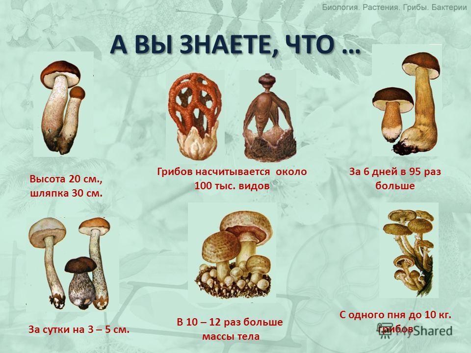 А ВЫ ЗНАЕТЕ, ЧТО … Грибов насчитывается около 100 тыс. видов В 10 – 12 раз больше массы тела Высота 20 см., шляпка 30 см. За 6 дней в 95 раз больше За сутки на 3 – 5 см. С одного пня до 10 кг. грибов