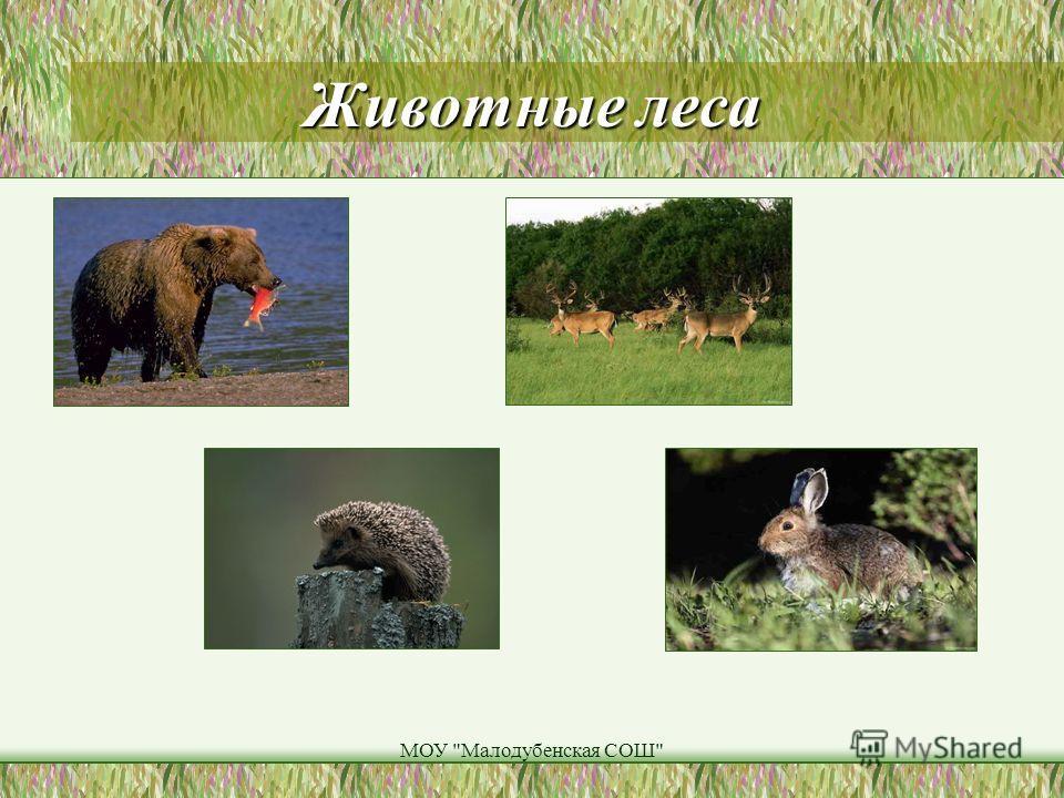 МОУ Малодубенская СОШ Животные леса