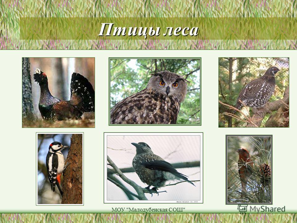 МОУ Малодубенская СОШ Птицы леса