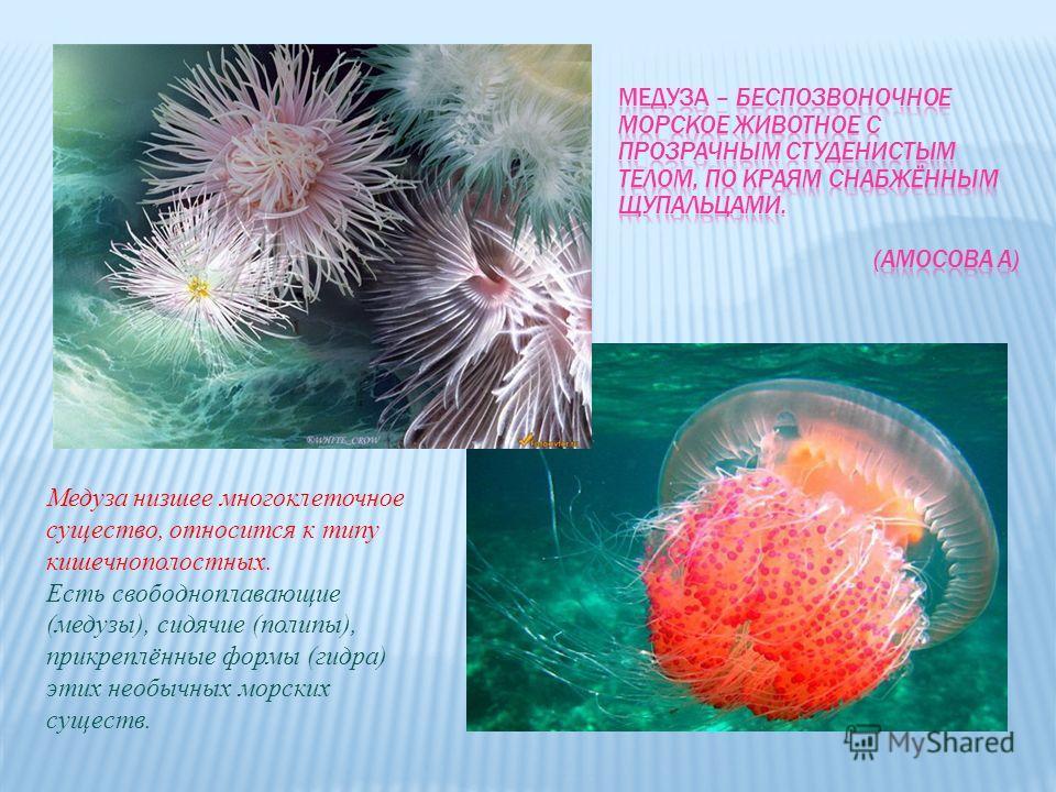 Медуза низшее многоклеточное существо, относится к типу кишечнополостных. Есть свободноплавающие (медузы), сидячие (полипы), прикреплённые формы (гидра) этих необычных морских существ.