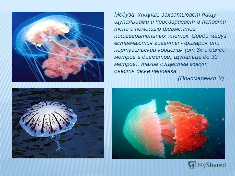 Медуза- хищник, захватывает пищу щупальцами и переваривает в полости тела с помощью ферментов пищеварительных клеток. Среди медуз встречаются гиганты - физария или португальский кораблик (от 3х и более метров в диаметре, щупальце до 30 метров), такие