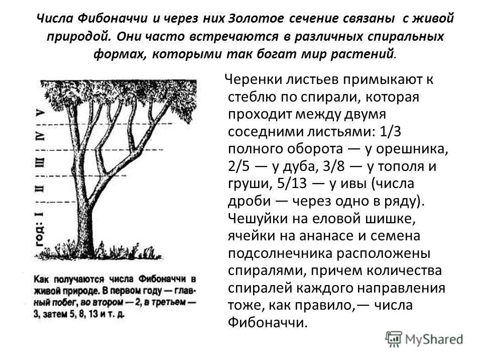 Числа Фибоначчи и через них Золотое сечение связаны с живой природой. Они часто встречаются в различных спиральных формах, которыми так богат мир растений. Черенки листьев примыкают к стеблю по спирали, которая проходит между двумя соседними листьями